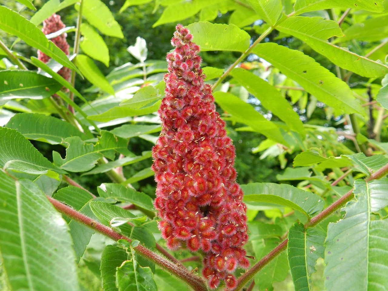 Rhus Toxicodendron - Giftsumach