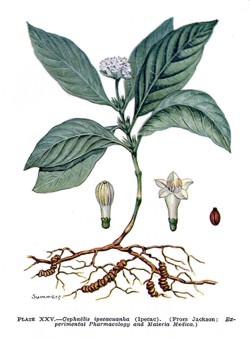 Ipecacuanha - Brechwurzel