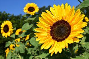 Sonnenblumen Öl